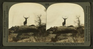 Elk in Yellowstone National Park. From the New York Public Library.